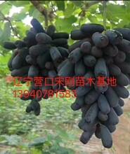昌吉回族自治州昌吉回族自治州遼寧藍寶石葡萄苗產品介紹圖片