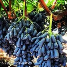 巴中市巴中市遼寧藍寶石葡萄苗苗木價格圖片