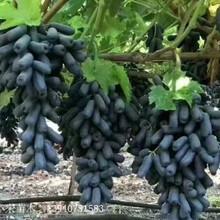 唐山市唐山市甜蜜藍寶石葡萄苗批發供應圖片