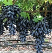 吐魯番地區吐魯番地區甜蜜藍寶石葡萄苗今日報價圖片