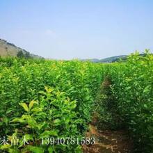 益陽市益陽市國峰七號李子苗價格透明圖片