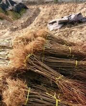 大興安嶺地區大興安嶺地區東北耐寒李子苗專業生產圖片