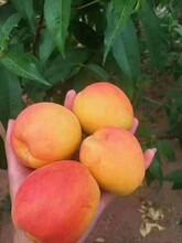 蚌埠市蚌埠市2019新品种沙金红杏便宜的苗木基地图片