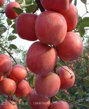葫蘆島市葫蘆島市矮化蘋果苗市場價格圖片