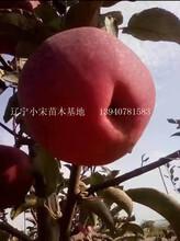 大兴安岭地区大兴安岭地区寒富二刀苹果苗专业生产图片
