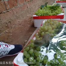 阿克蘇地區阿克蘇地區遼寧耐寒葡萄苗市場價格圖片