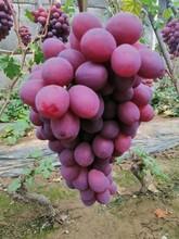 葡萄果園發貨圖片