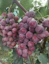 葡萄供應商圖片