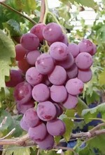 紅提葡萄廠家報價圖片
