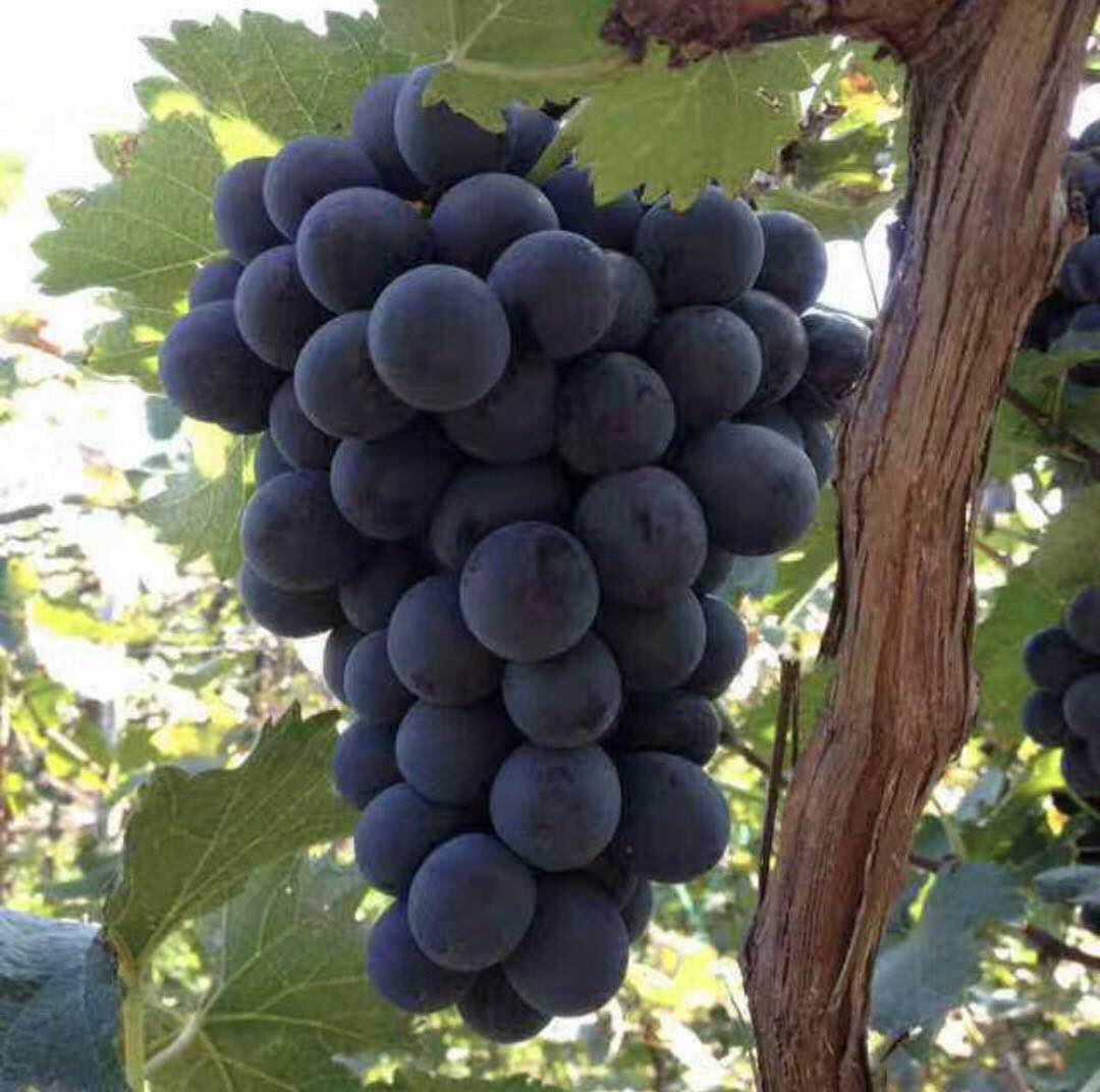 巨峰葡萄采摘園專業生產