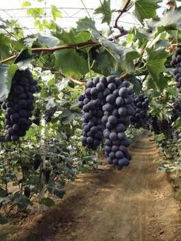 巨峰葡萄采摘园价格透明