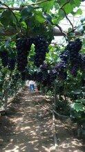 巨峰葡萄采摘園專業生產圖片