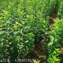 耐寒国峰七号李子苗便宜的苗木基地图片