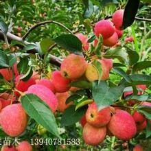 苹果苗鸡心果苗小宋苗木基地电话图片