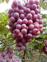 晚红葡萄苗价格超低
