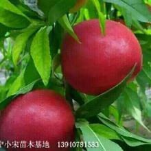 江西省滿園紅桃苗批發采購圖片