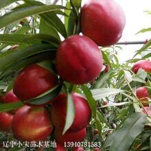 黑龍江省中油4號桃苗存活率高根系發達圖片