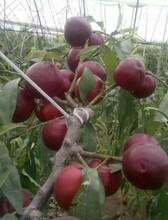 遼寧省滿園紅桃苗哪里有賣圖片