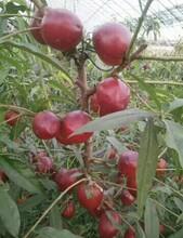 黑龍江省滿園紅桃苗存活率高根系發達圖片