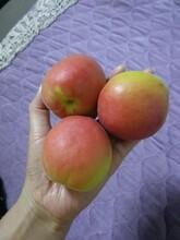 寧夏回族自治區沙金紅杏存活率高根系發達圖片