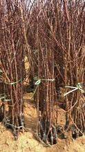 吉林省沙金紅杏樹苗苗木基地圖片