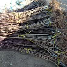 寧夏回族自治區沙金紅杏價格圖片圖片