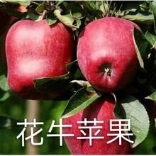 广西壮族自治区花牛苹果苗价格批发图片