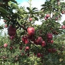 天津花牛苹果苗价格优惠签订合同图片
