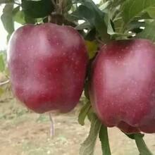 宁夏回族自治区花牛苹果苗存活率高根系发达图片