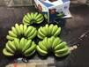 菲律賓進口香蕉整柜批發價格優秀