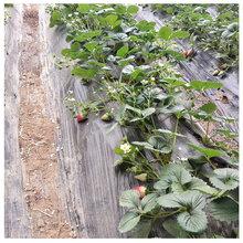 章姬草莓苗温室采摘的首选品种草莓苗价格图片