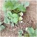 白雪公主草莓苗溫室采摘的首選品種草莓苗批發