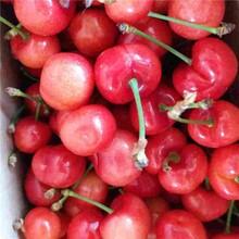 市红宝石樱桃苗成活率怎么样?品种纯正图片