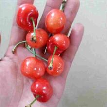 邯郸市黑珍珠樱桃苗性价比高的口碑良好图片