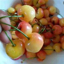 日喀则车厘子樱桃苗报价品质保证图片
