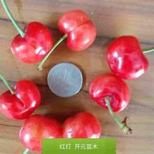 牡丹江市樱桃砧木价格品种纯正图片