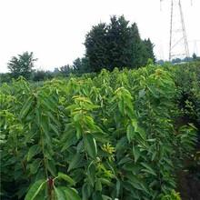 惠州市红蜜樱桃苗性价比高的口碑良好图片