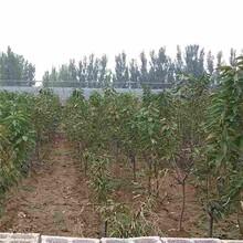 伊春市早红宝石樱桃苗怎么种植?品种纯正图片