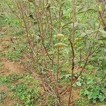 潮州市樱桃成品苗性价比高的口碑良好图片