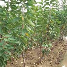 赤峰市美国樱桃苗什么品种好图片
