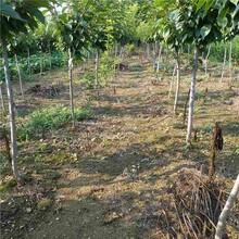六安市樱桃成品苗几月份种植好?信誉厂家图片