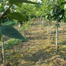 泰州市樱桃树苗怎么选择信誉厂家图片