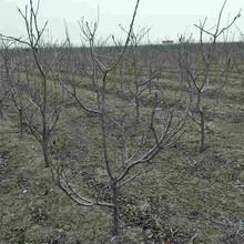 柳州市樱桃苗多少钱一颗?品质保证图片