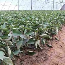 双鸭山市吉塞拉6号怎么种植?品种纯正图片