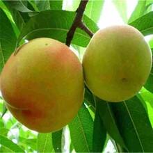 黄金蜜桃树苗什么品种好?图片