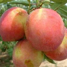 油蟠桃树苗市场行情图片