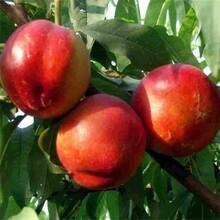 冰糖蜜油桃苗怎么种植?图片