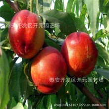 淮安市黄金蜜桃树苗公司报价图片