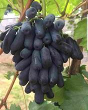 红巴拉多葡萄苗厂家/葡萄树苗基地直销图片