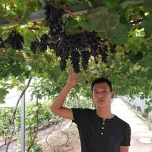 泰山红香椿苗信誉厂家图片